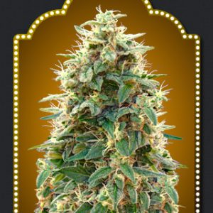 Auto 00 Haschis Cannabis Seeds
