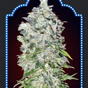 Auto 00 Kush Cannabis Seeds
