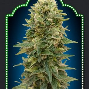 Auto Afghan Mass Cannabis Seeds