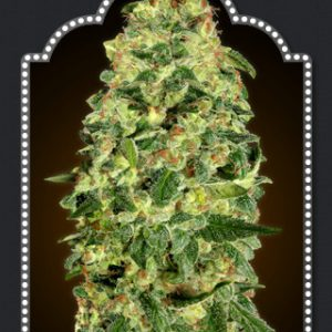Auto Haschis Berry Cannabis Seeds