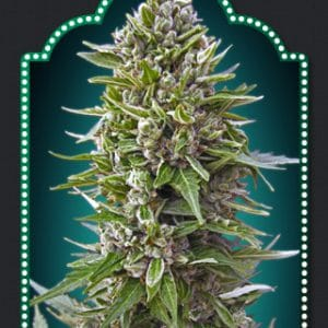 00 Haschis Cannabis Seeds