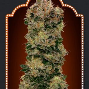 00 Kush Cannabis Seeds