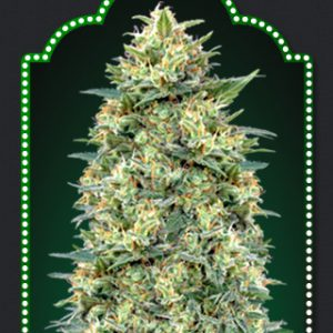Bubble Gum Cannabis Seeds