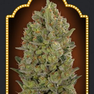 California Kush Cannabis Seeds