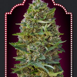 Chocolate Kush Cannabis Seeds