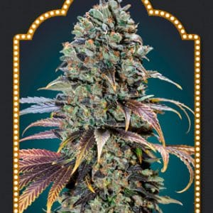 Chocolate Skunk Cannabis Seeds