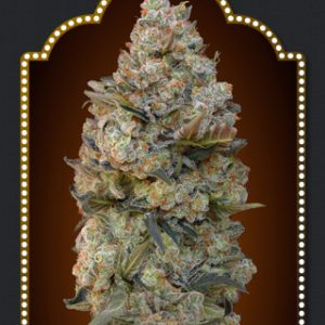 Sweet Critical Cannabis Seeds