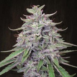 Bangi Haze Standard Cannabis Seeds