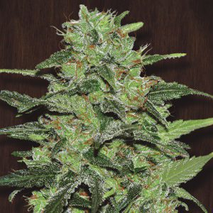 Malawi x PCK Standard Cannabis Seeds
