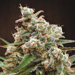 Nepal Jam Standard Cannabis Seeds