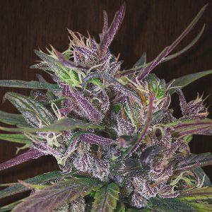 Oldtimer's Haze Standard Cannabis Seeds