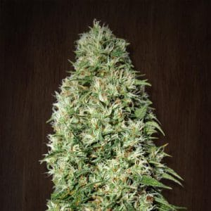 Orient Express Standard Cannabis Seeds