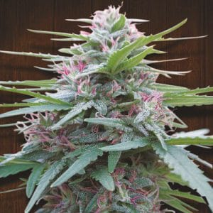 Pakistan Chitral Kush Standard Cannabis Seeds