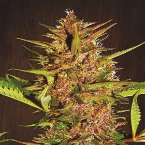 Panama Standard Cannabis Seeds