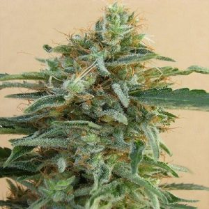 Auto Malawi x Northern Lights Feminised Cannabis Seeds
