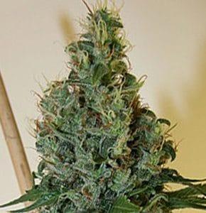 Congo OG Cannabis Seeds