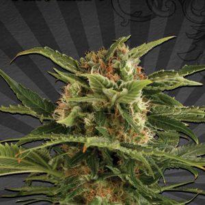 Auto Pounder Cannabis Seeds