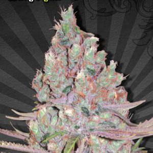 Berry Ryder Automatic Cannabis Seeds