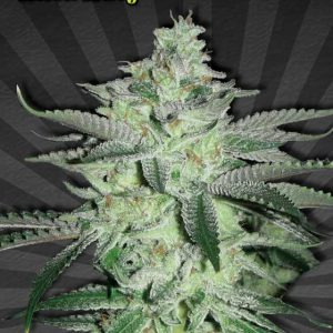 Diesel Berry Automatic Cannabis Seeds