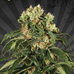 Hijack Auto Cannabis Seeds