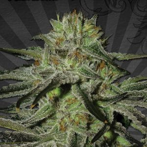 Kush Doctor Cannabis Seeds