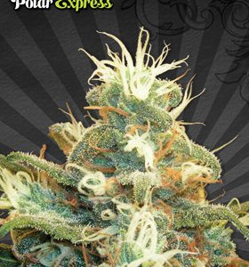 Polar Express Cannabis Seeds