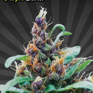 Purple Cheese Cannabis Seeds