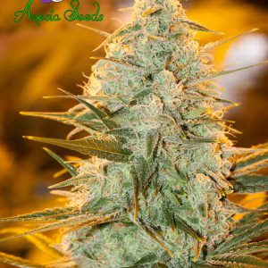 Amnesia Flash Cannabis Seeds