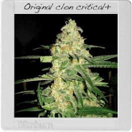 Original Clon Cannabis Seeds