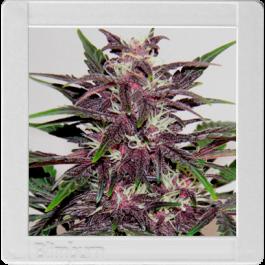 Grizzly Purple Kush Cannabis Seeds