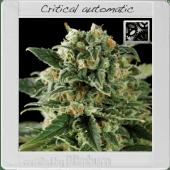 Critical Automatic Feminised Cannabis Seeds