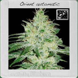 Orient Automatic Feminised Cannabis Seeds