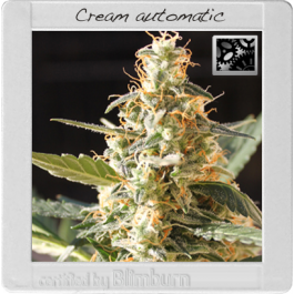 Cream Automatic Cannabis Seeds