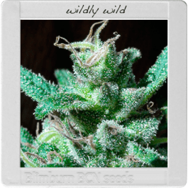 Wildly White Cannabis Seeds