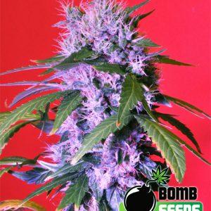 Bulldog Haze Cannabis Seeds