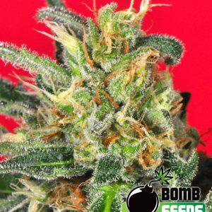 O.Z. Kush Cannabis Seeds