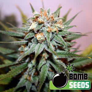 The Bulldog Chronic Cannabis Seeds