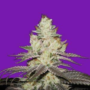 Blueberry 420 Cannabis Seeds