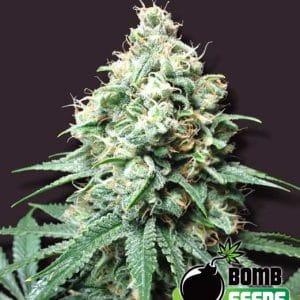 Bulldog Haze Auto Cannabis Seeds