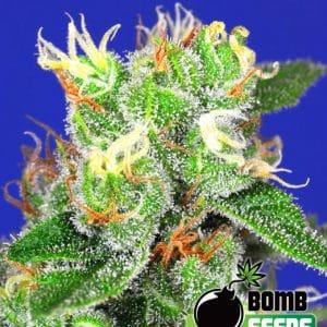 Fast Ryder 2 Cannabis Seeds