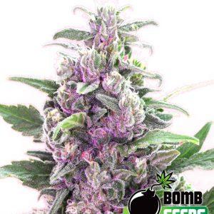 Jack Herer Auto Cannabis Seeds