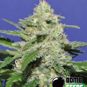 Bulldog Skunk Cannabis Seeds