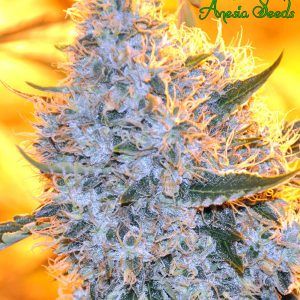 Big Bazooka Cannabis Seeds