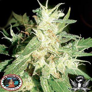 Buddha Haze Cannabis Seeds
