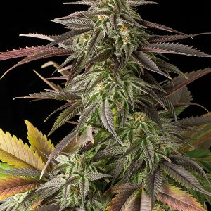 Blue Cheese Cannabis Seeds