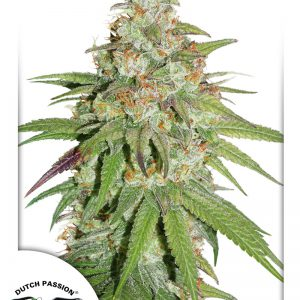 Glueberry O.G. Cannabis Seeds