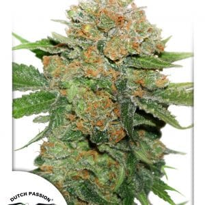 Night Queen Cannabis Seeds
