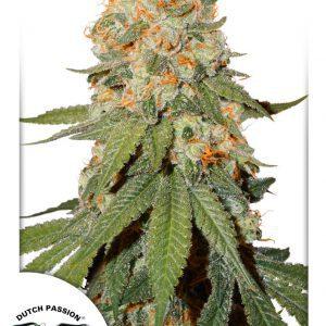 Orange Bud Cannabis Seeds