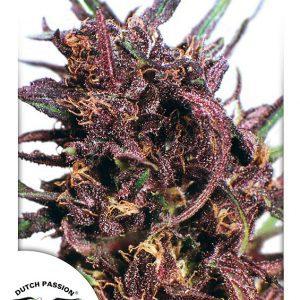 Purple No. 1 Cannabis Seeds