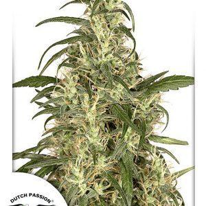 Skunk No.11 Cannabis Seeds